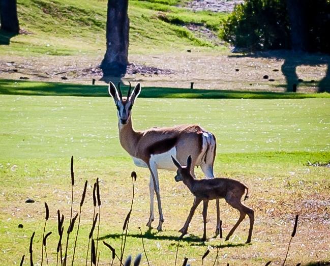 Springböcke auf dem Platz - © Hermanus Golf Club
