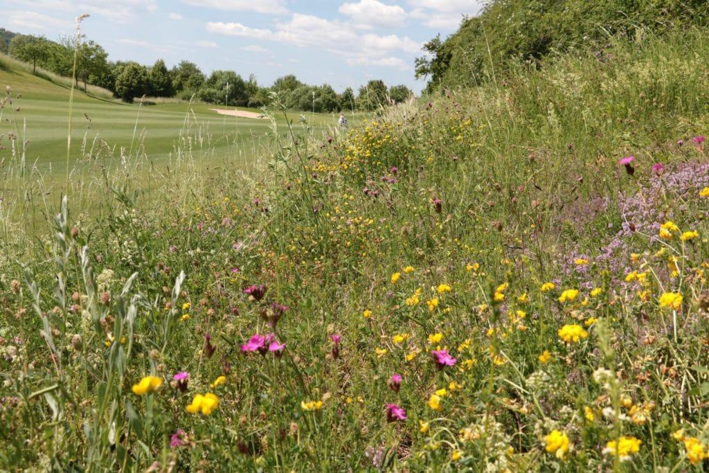 Im GC Schloss Monrepos ist eine Magerwiese entstanden mit einzigartigen Blumen sowie Wildthymian. (Foto: © BWGV)